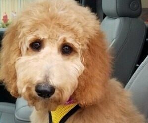 Goldendoodle-Poodle (Standard) Mix Dog for Adoption in TREMONT, Illinois USA