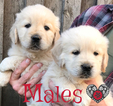 Golden Retriever Puppy For Sale in JASPER, GA, USA