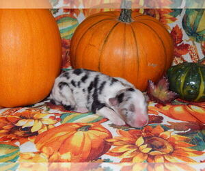 Australian Shepherd Puppy for sale in CANTON, OH, USA