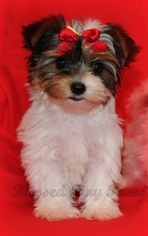 Find Puppies For Sale Dogs For Sale Dogs For Adoption Dog Breeders And Dog Rescue Organizations