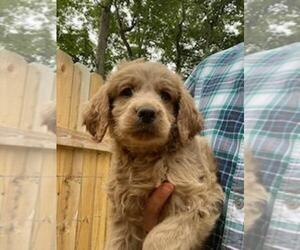 Goldendoodle Puppy for sale in SPENCER, TN, USA