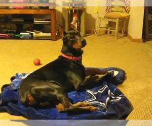 Father of the Doberman Pinscher puppies born on 03/24/2020