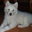 Siberian Husky Puppy For Sale in DINWIDDIE, VA, USA