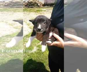 Border Collie Puppy for sale in FREDERICKSBG, OH, USA
