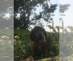 Dachshund Puppy for Sale in FORDLAND, Missouri USA