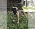 ICCF Cane Corso Pups