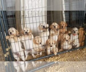 Golden Retriever Puppy for Sale in MOUNT CRAWFORD, Virginia USA