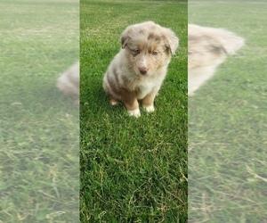 Australian Shepherd Puppy for sale in QUINCY, MI, USA