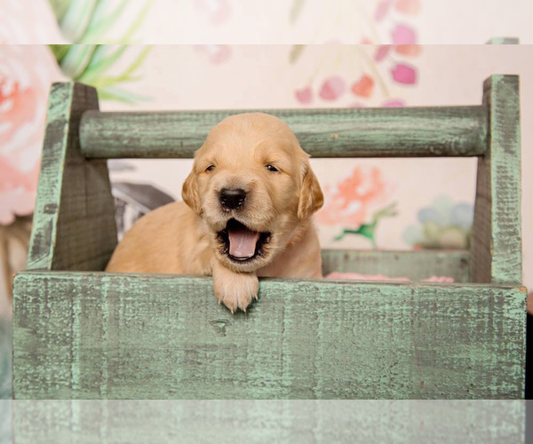 PuppyFinder com - View Ad: Photo #7 of Listing Goldendoodle Puppy