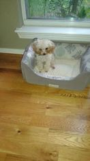 Poodle (Toy) Puppy for sale in MAGNOLIA, TX, USA