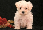 Wee-Poo Puppy For Sale in MOUNT JOY, PA, USA