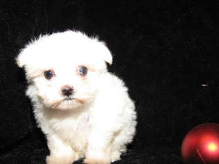 Maltese Puppy Teacup