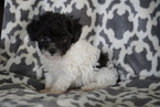 Teacup Poodle For Sale Sugarcreek Ohio Male