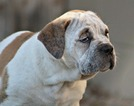 Olde English Bulldogge Puppy For Sale in WINTER PARK, FL, USA