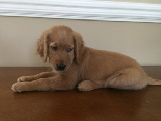 Goldendoodle Puppy for sale in WENDELL, NC, USA