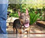 Small #972 Bull Terrier Mix