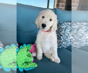 Goldendoodle Puppy for Sale in OWASSO, Oklahoma USA