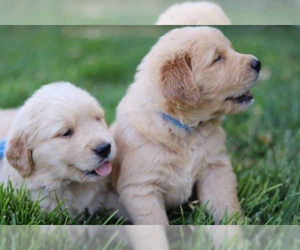 View Ad: Golden Retriever Litter of Puppies for Sale near In Germany