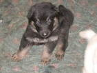 German Shepherd Dog Puppy For Sale in JOHNSON CITY, TN, USA