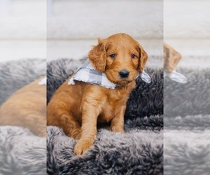 Goldendoodle Puppy for sale in AUSTIN, TX, USA