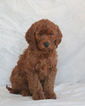 Goldendoodle Puppy For Sale in WOLCOTT, IN,