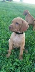 Vizsla Puppy For Sale in NICHOLASVILLE, KY, USA