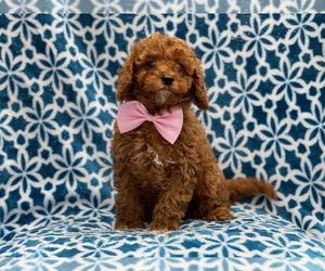 Cavapoo-Poodle (Toy) Mix Dog for Adoption in LAKELAND, Florida USA