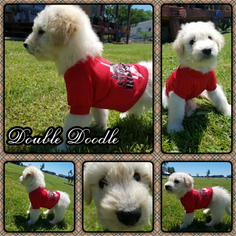 Australian Labradoodle Puppy For Sale in CELINA, TX
