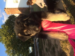 German Shepherd Dog Puppy for sale in NORWALK, OH, USA