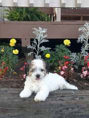 Havanese Puppies and Dogs for Sale in USA