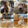 Goldendoodle Puppy For Sale in BELLVILLE, OH, USA
