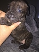 Cane Corso-Presa Canario Mix Puppy For Sale in BUCHANAN, GA, USA