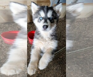 Siberian Husky Puppy for Sale in TUCSON, Arizona USA