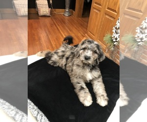 Labradoodle Puppy for Sale in COLS GROVE, Ohio USA