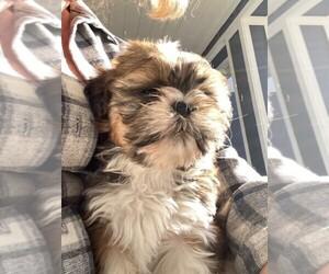 Shih Tzu Dog for Adoption in MODESTO, California USA