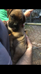Boxer Puppy For Sale in TALLAHASSEE, FL, USA