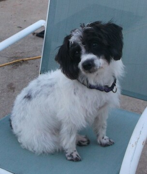 Jack Russell Terrier-Poodle (Standard) Mix puppy
