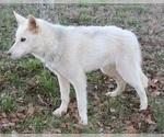 Small #5 Wolf Hybrid