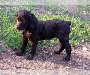 Boykin Spaniel Puppy for Sale in WARWICK, North Dakota USA