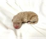 Puppy 3 Lagotto Romagnolo