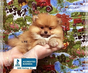 Pomeranian Puppy for Sale in WINNSBORO, Louisiana USA