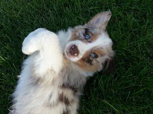 Australian Shepherd Puppy For Sale in ORIENT, OH, USA