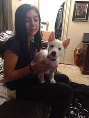 German Shepherd Dog-Siberian Husky Mix Puppy for sale in ALEDO, IL, USA