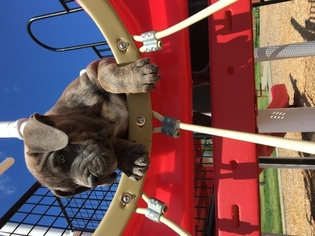 American Bully Puppy For Sale in NORTH HIGHLANDS, CA