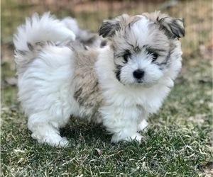 Coton de Tulear Puppy for Sale in LISLE, Illinois USA