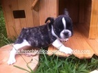 French Bulldog Puppy For Sale near 33035, Homestead, FL, USA