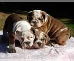 English Bulldog Puppy For Sale in ARLINGTON, WA, USA