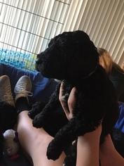 Goldendoodle Puppy For Sale in LEXINGTON, NC