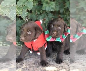 Labrador Retriever Puppy for Sale in MORENO VALLEY, California USA