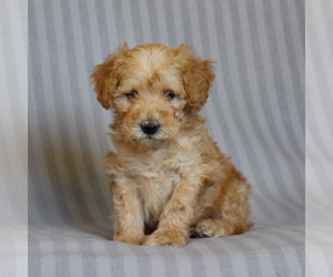 Poodle (Miniature)-Whoodle Mix Puppy for sale in GAP, PA, USA
